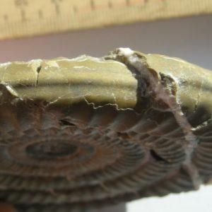 Ammonit - Alpinoceras loki WAEHNER 02