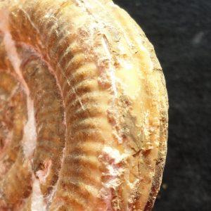 Ammonit - Alpinoceras salinarius HAUER 05