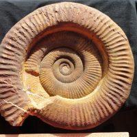 Ammonit - Alsatites nigromontanus GÜMBEL 01