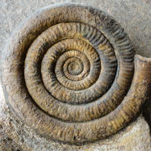 Ammonit - Alsatites Gruppe inklusive Ichthyosaurier-Wirbel (3)