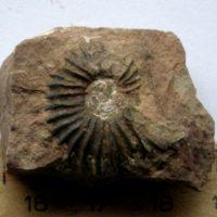 Ammonit - Angulaticeras posttaurinum WÄHNER (1)