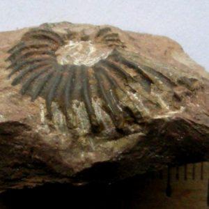 Ammonit - Angulaticeras posttaurinum WÄHNER (2)