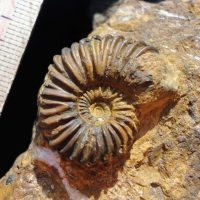 Ammonit - Angulaticeras scolioptychum WÄHNER (1)