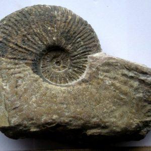 Ammonit - Angulaticeras ventricosum SOWERBY (2)