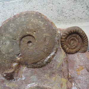 Ammonit - Discamphiceras atanatense (7)