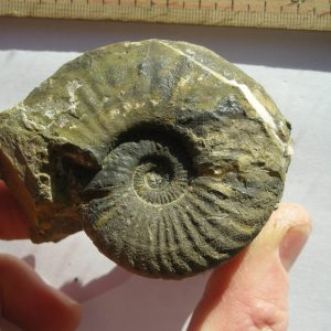 Ammonit - Discamphiceras calcimontanum WÄHNER (2)