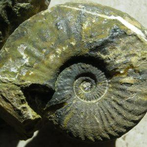 Ammonit - Discamphiceras calcimontanum WÄHNER (3)