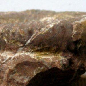 Ammonit - Ectocentrites petersi HAUER (2)