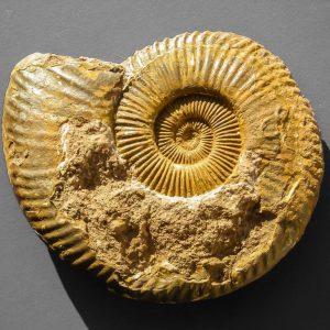 Ammonit - Entdeckung einer neuen Fundstelle 2 (3)