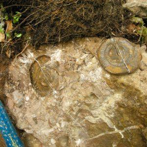 Ammonit - Entdeckung einer neuen Fundstelle 3 (5)
