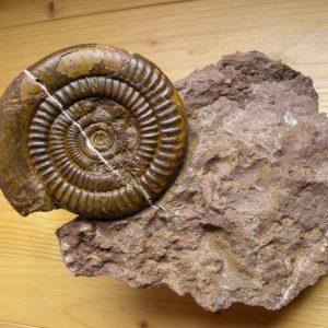 Ammonit - Entdeckung einer neuen Fundstelle 3 (6)