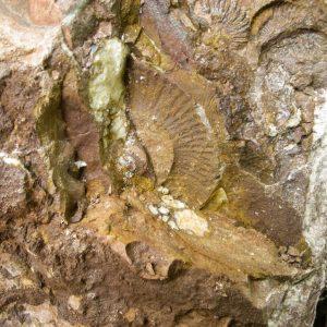 Ammonit - Entdeckung einer neuen Fundstelle 4 (3)