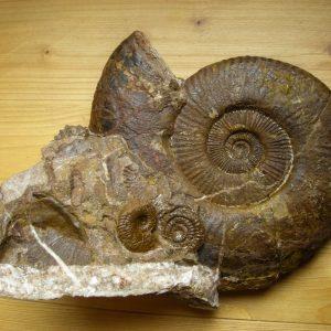Ammonit - Entdeckung einer neuen Fundstelle 4 (5)