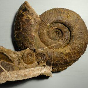 Ammonit - Entdeckung einer neuen Fundstelle 4 (6)