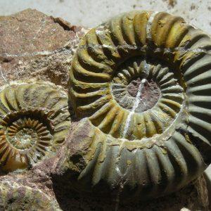 Ammonit - Gonioptychoceras gonioptychum WÄHNER (2)
