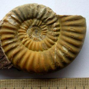 Ammonit - Gonioptychoceras gonioptychum WÄHNER (4)