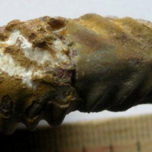 Ammonit - Gonioptychoceras gonioptychum WÄHNER (8)