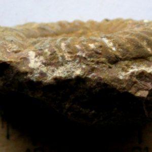 Ammonit - Megastomoceras panzneri WÄHNER (1)