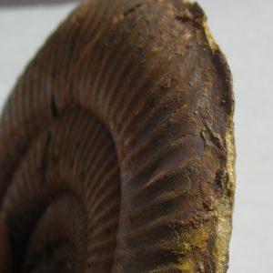 Ammonit - Pseudaetomoceras castagnolai COCCHI (2)