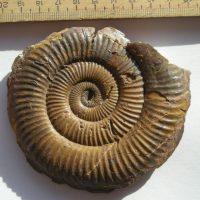 Ammonit - Pseudaetomoceras castagnolai COCCHI (4)