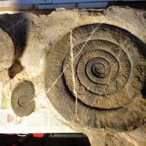 Ammonit - Psiloceras naumanni (1)