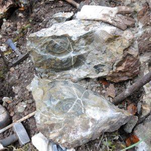 Ammonit - Psiloceras naumanni (2)