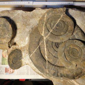 Ammonit - Psiloceras naumanni (6)