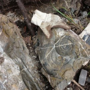 Ammonit - Psiloceras naumanni (7)