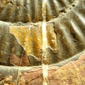 Ammonit - Psiloceras naumanni NEUMAYR (3)