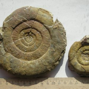 Ammonit - Psiloceras strongolum LANGE (1)