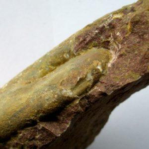 Ammonit - Schistophylloceas aulonotum HERBICH (5)
