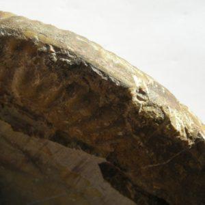 Ammonit - Schlotheimia donar WÄHNER (3)