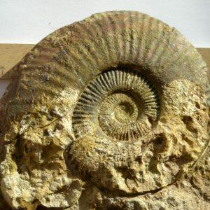Ammonit - Schlotheimia donar WÄHNER (4)