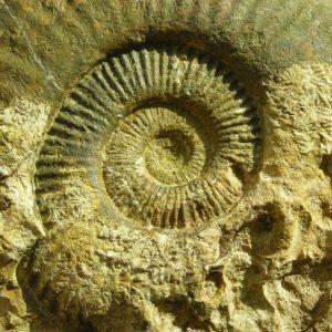 Ammonit - Schlotheimia donar WÄHNER (5)