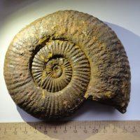 Ammonit - Schlotheimia donar WÄHNER (6)