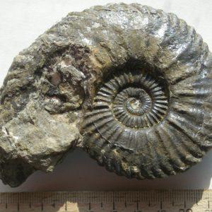 Ammonit - Schlotheimia exechoptycha WÄHNER (1)