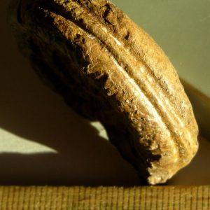 Ammonit - Schreinbachites retroversicostatus CANAVARI (4)