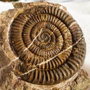 Ammonit - Schwere Hindernisse und ein Vermiceras (1)