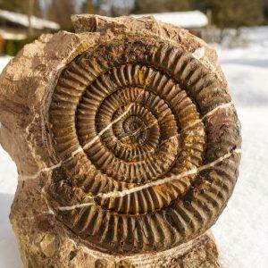 Ammonit - Schwere Hindernisse und ein Vermiceras (2)
