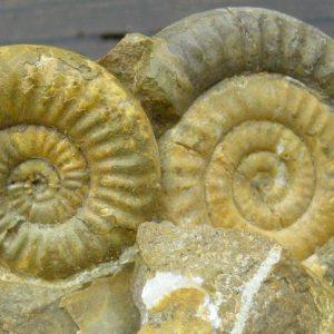 Ammonit - Storthoceras subrahana Lange (1)