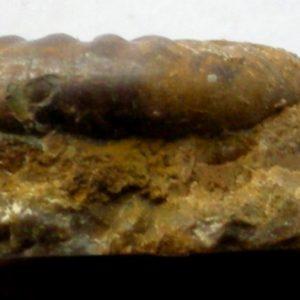 Ammonit - Storthoceras subrahana Lange (3)
