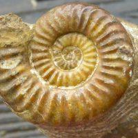 Ammonit - Storthoceras subrahana Lange (4)