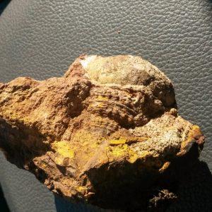 Ammonit - Überraschende Fossilienjagd bei Wien (5)