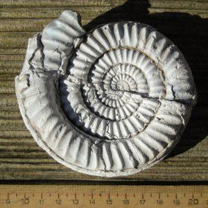 Ammonit - Überraschende Fossilienjagd bei Wien (6)