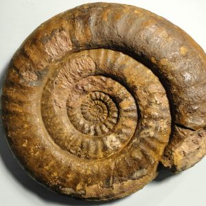 Ammonit - Überraschung auf dem Heimweg AR1-3 (1)