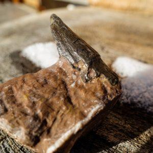 Ichthyosaurier Zahn (3)