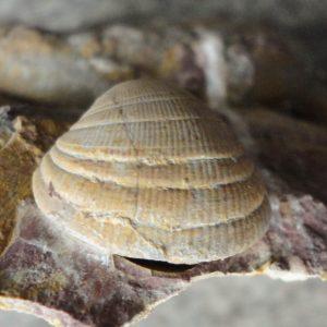 Muscheln aus dem Hettangium (7)