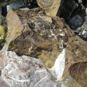 Zufallsfund im Bachbett - Pleuracanthites polycycloides WÄHNER (5)
